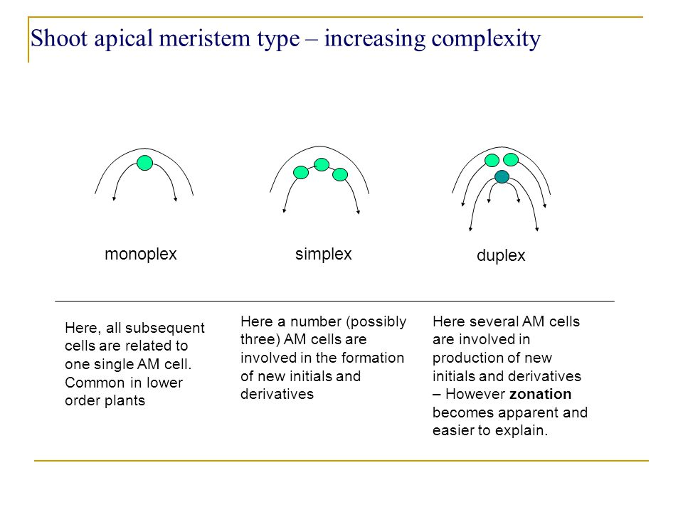 Shoot apical meristem type – increasing complexity monoplex simplex duplex Here, all subsequent cells are related to one single AM cell.