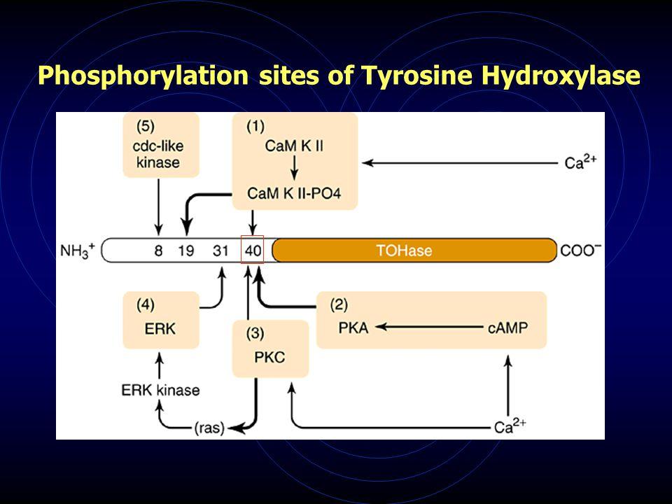 Phosphorylation sites of Tyrosine Hydroxylase