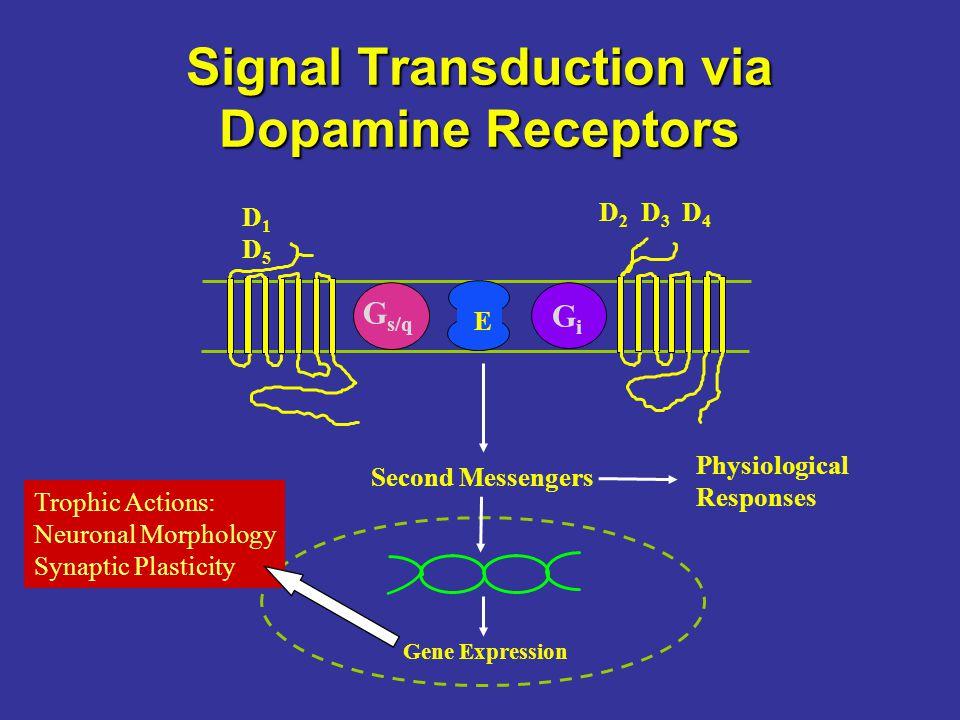 Signal Transduction via Dopamine Receptors G s/q GiGi E D1D5D1D5 D 2 D 3 D 4 Second Messengers Gene Expression Physiological Responses Trophic Actions: Neuronal Morphology Synaptic Plasticity
