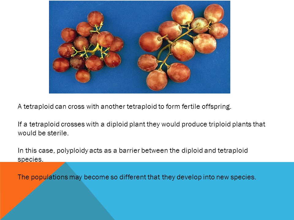 A tetraploid can cross with another tetraploid to form fertile offspring. If a tetraploid crosses with a diploid plant they would produce triploid pla