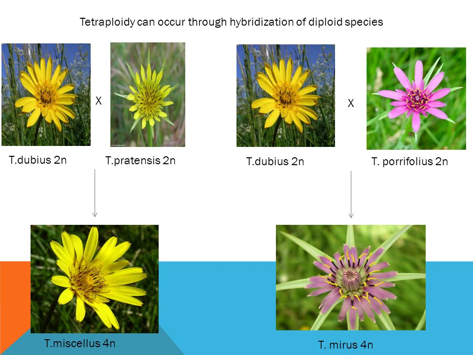 Tetraploidy can occur through hybridization of diploid species X X T.dubius 2n T.pratensis 2n T.dubius 2n T. porrifolius 2n T. mirus 4n T.miscellus 4n