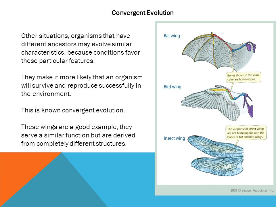 Convergent Evolution Other situations, organisms that have different ancestors may evolve similar characteristics, because conditions favor these part
