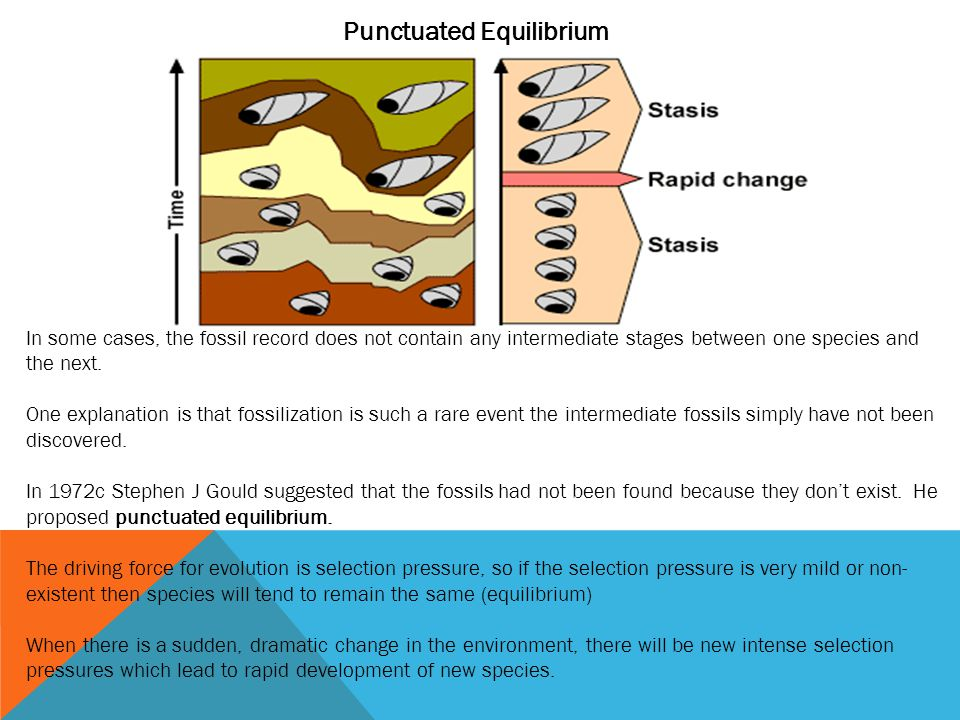 Punctuated Equilibrium In some cases, the fossil record does not contain any intermediate stages between one species and the next. One explanation is