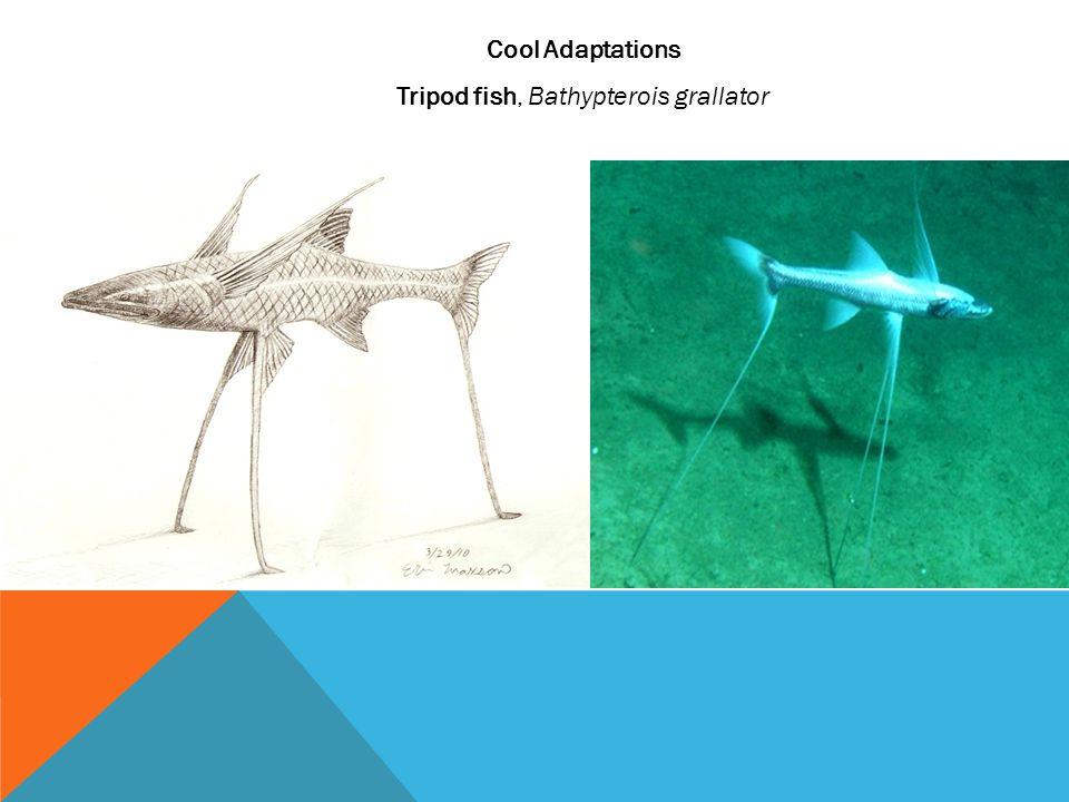 Cool Adaptations Tripod fish, Bathypterois grallator