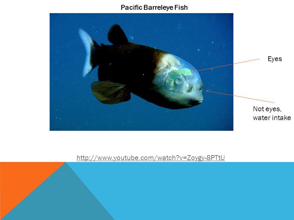 Pacific Barreleye Fish http://www.youtube.com/watch?v=Zoygy-8PTtU Eyes Not eyes, water intake