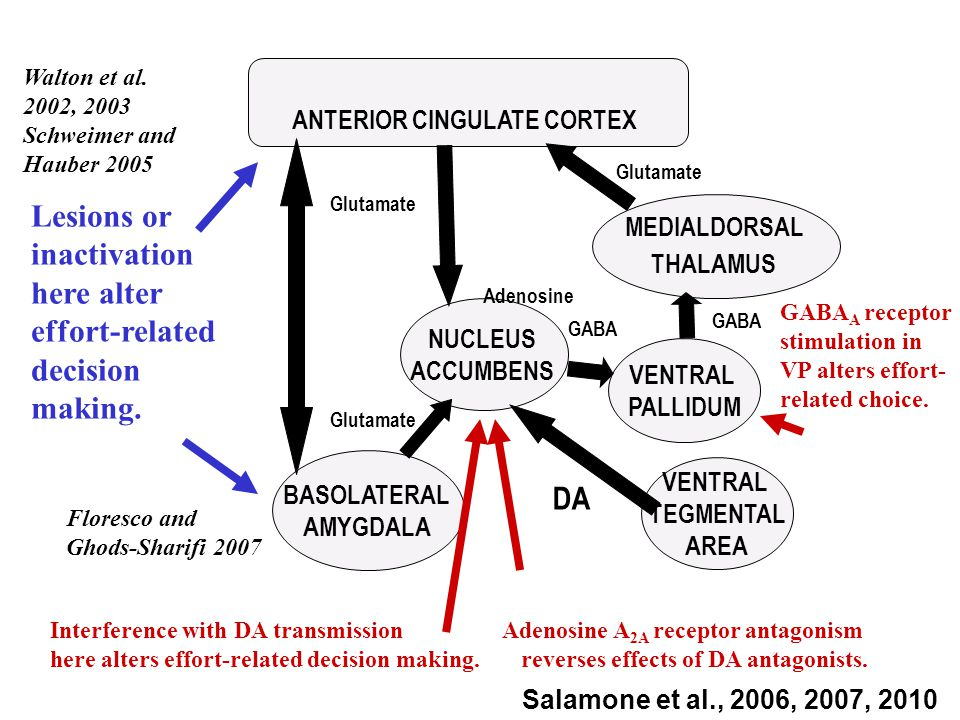 Glutamate ANTERIOR CINGULATE CORTEX MEDIALDORSAL THALAMUS VENTRAL PALLIDUM VENTRAL TEGMENTAL AREA NUCLEUS ACCUMBENS DA Glutamate GABA BASOLATERAL AMYGDALA Glutamate Interference with DA transmission here alters effort-related decision making.