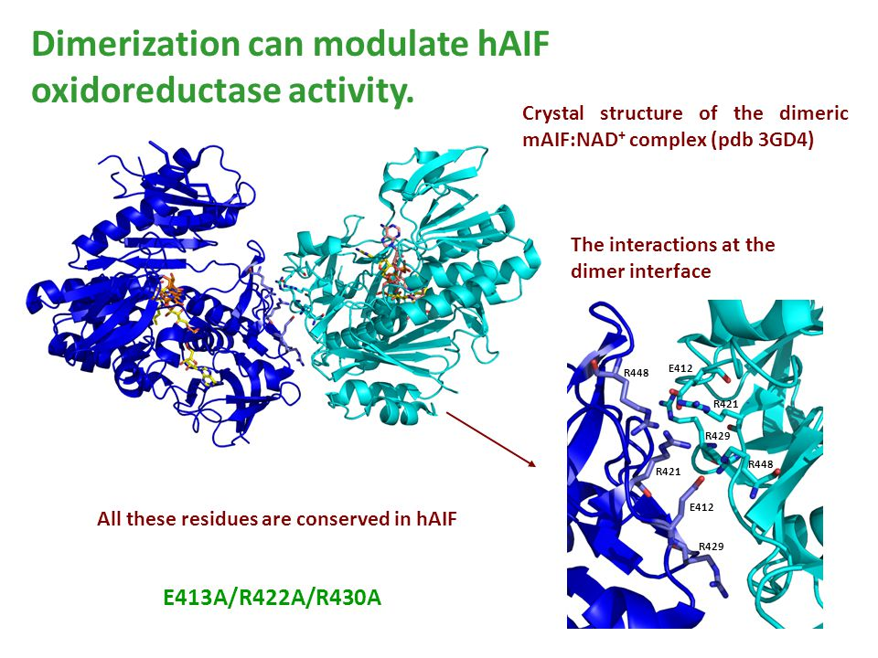Dimerization can modulate hAIF oxidoreductase activity. R448 R429 R421 E412 Crystal structure of the dimeric mAIF:NAD + complex (pdb 3GD4) The interac