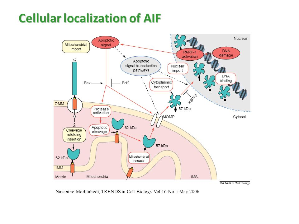 Nazanine Modjtahedi, TRENDS in Cell Biology Vol.16 No.5 May 2006 Cellular localization of AIF
