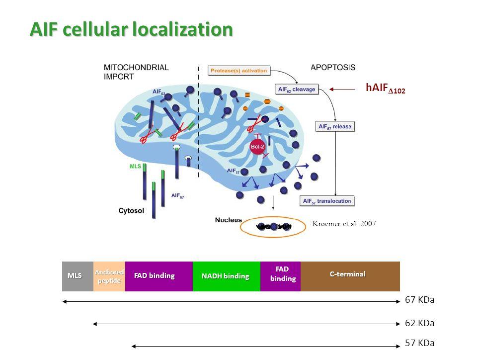 AIF cellular localization Kroemer et al. 2007 hAIF  102 MLS FAD binding NADH binding FAD bindingC-terminal Anchoredpeptide 67 KDa 62 KDa 57 KDa