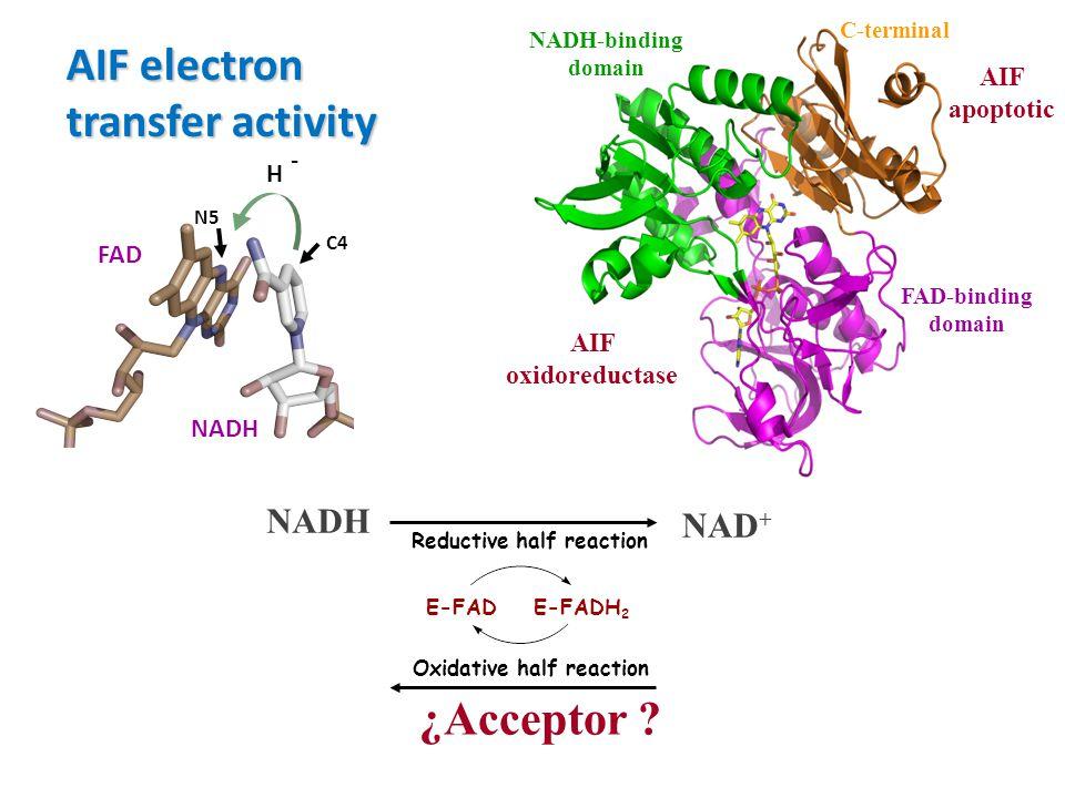 FAD-binding domain NADH-binding domain C-terminal AIF oxidoreductase AIF apoptotic E-FADE-FADH 2 Oxidative half reaction Reductive half reaction NADH