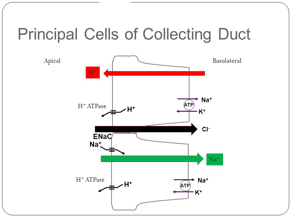 Principal Cells of Collecting Duct Na + ATP K+K+ H+H+ H + ATPase Na + ATP K+K+ Na + ENaC H+H+ H + ATPase BasolateralApical Cl - Na + H+H+