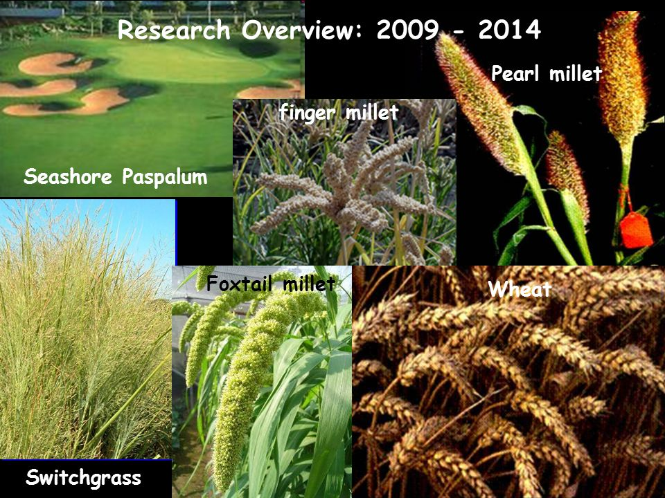 Pearl millet Switchgrass Wheat Foxtail millet Seashore Paspalum finger millet Research Overview: 2009 - 2014