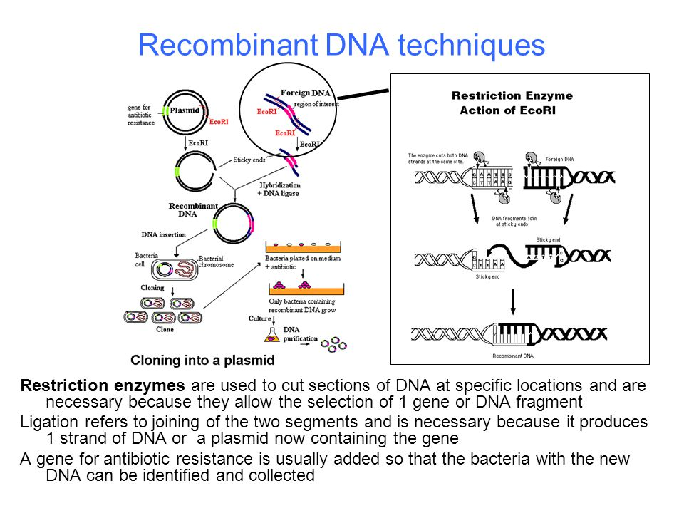 Recombinant DNA techniques Restriction enzymes are used to cut sections of DNA at specific locations and are necessary because they allow the selectio