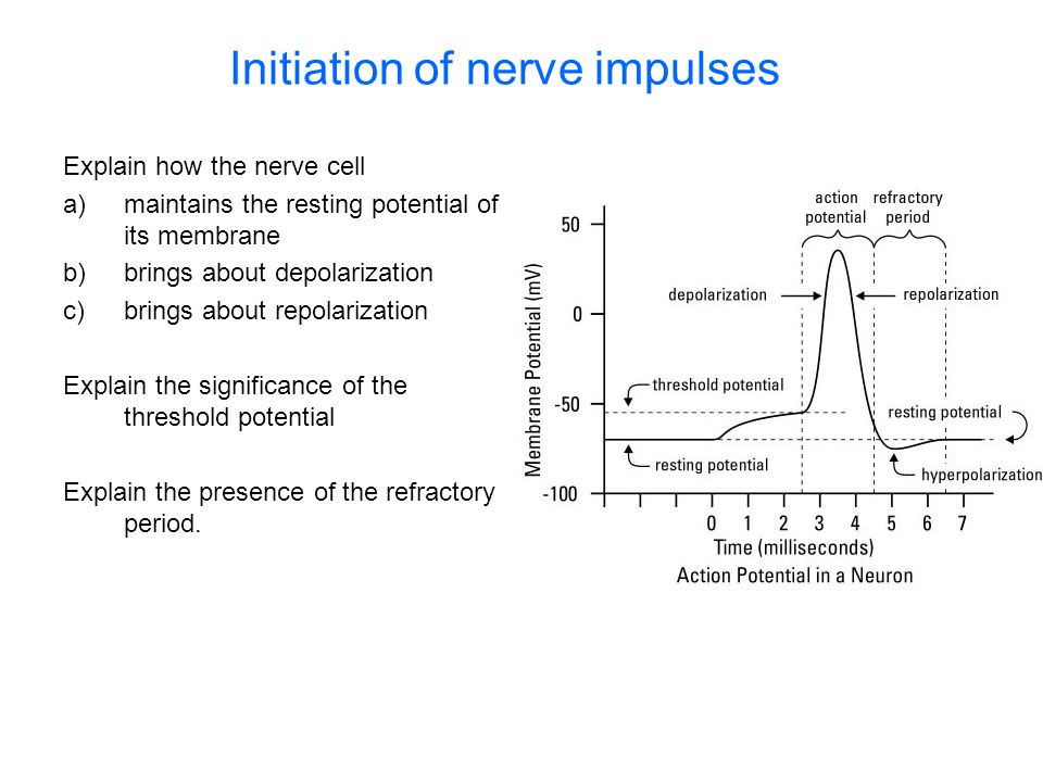 Initiation of nerve impulses Explain how the nerve cell a)maintains the resting potential of its membrane b)brings about depolarization c)brings about