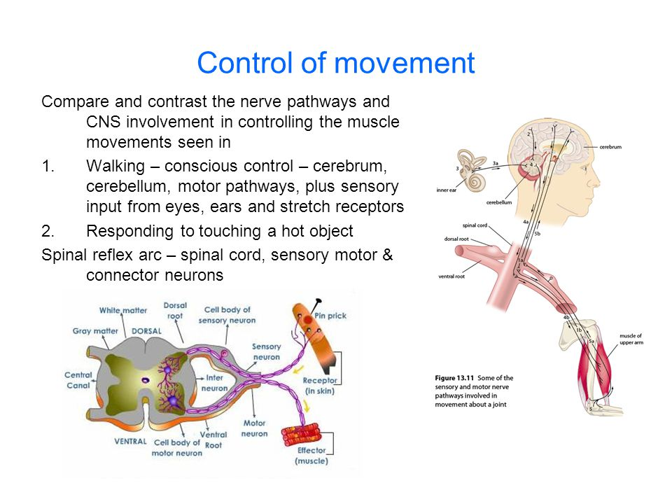 Control of movement Compare and contrast the nerve pathways and CNS involvement in controlling the muscle movements seen in 1.Walking – conscious cont