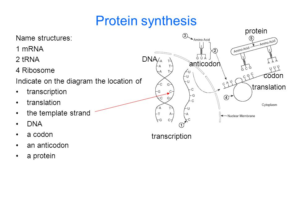 Protein synthesis Name structures: 1 mRNA 2 tRNA 4 Ribosome Indicate on the diagram the location of transcription translation the template strand DNA
