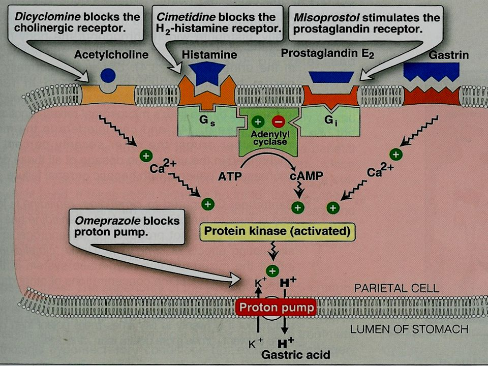 H2 receptor blockers Mechanism of action  They competitively and reversibly block to H2 receptors on the parietal cells thus reduce gastric secretion.