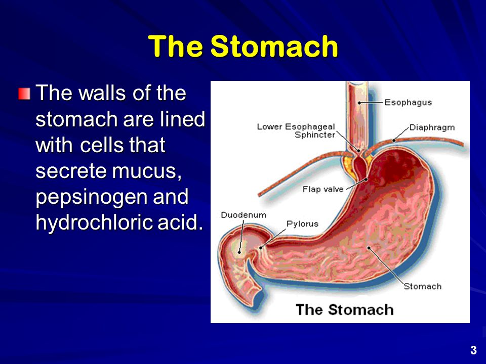 The Stomach The hydrochloric acid concentration of the stomach ranges from 0.03 M to 0.003 M which corresponds to a pH range of about 1.5 to 2.5 4