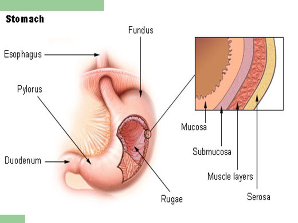 Regulation of acid secretion Increase ACH Histamine Gastrin Decrease PGE Cholecystokinin Glucagon VIP