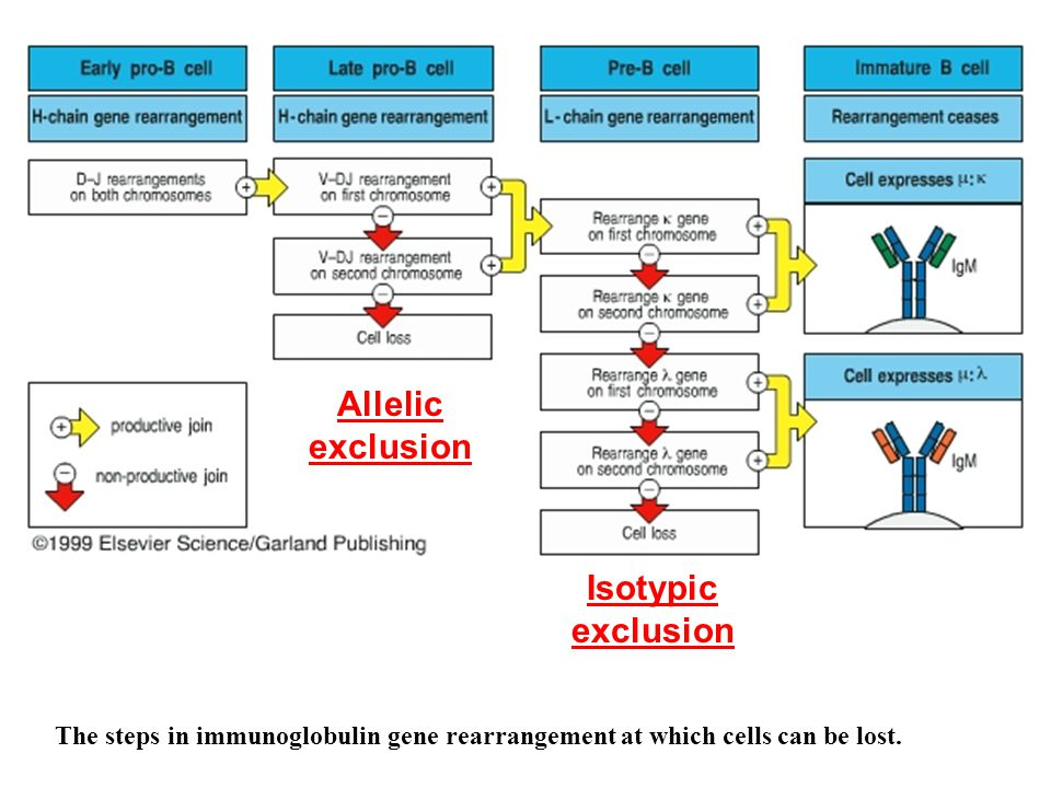 The steps in immunoglobulin gene rearrangement at which cells can be lost.