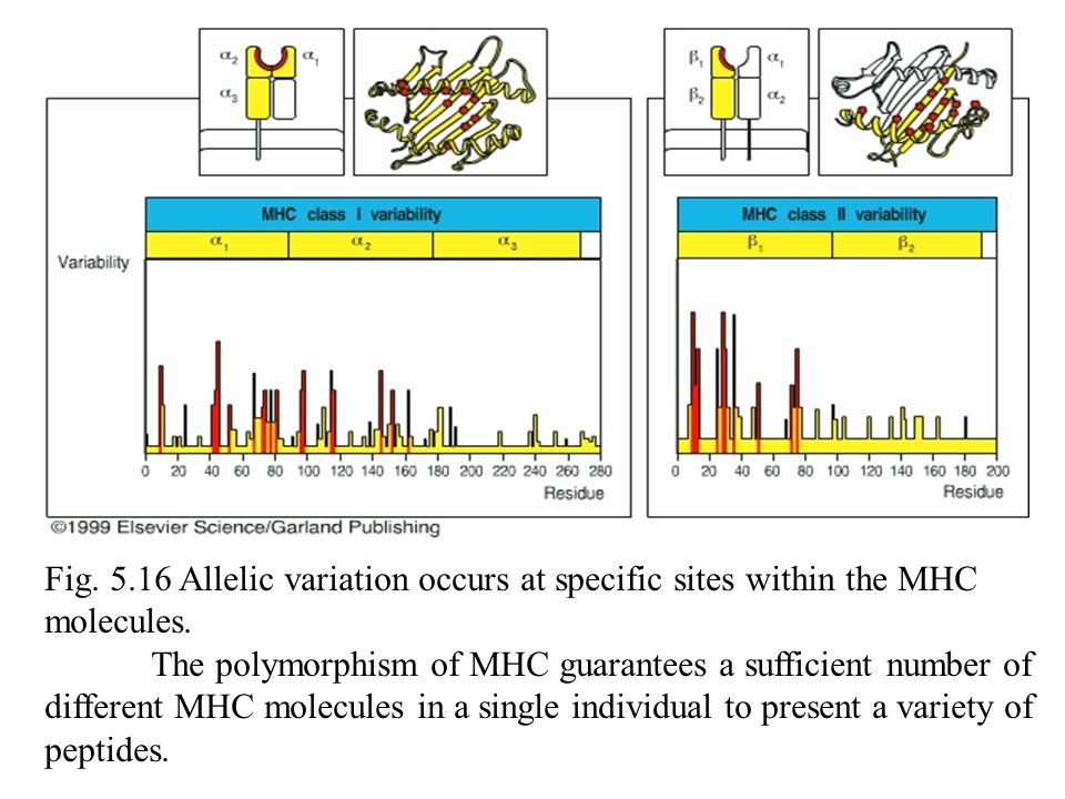 Fig.5.16 Allelic variation occurs at specific sites within the MHC molecules.