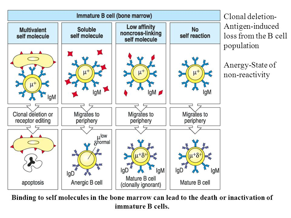 Binding to self molecules in the bone marrow can lead to the death or inactivation of immature B cells.