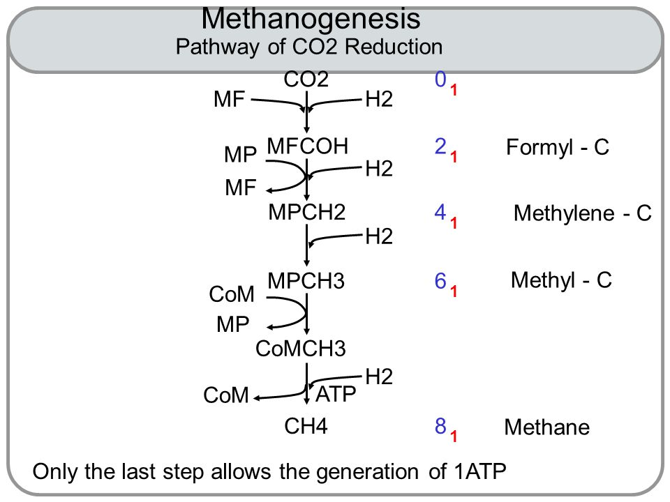 Methanogenesis 0 1 CO2 MFCOH MPCH2 MPCH3 CoMCH3 CH4 H2 MF MP MF CoM MP CoM 2 1 4 1 6 1 8 1 Formyl - C Methylene - C Methyl - C Methane ATP Only the last step allows the generation of 1ATP Pathway of CO2 Reduction