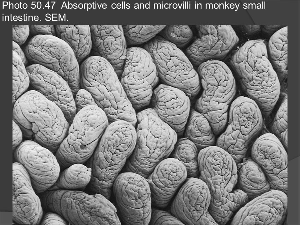 Photo 50.47 Absorptive cells and microvilli in monkey small intestine. SEM.