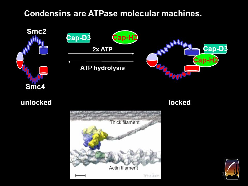 12 Cap-H2 Smc2 Smc4 Cap-D3 Condensins are ATPase molecular machines.
