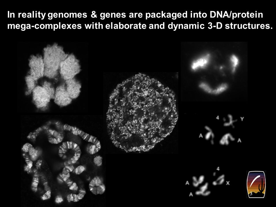 3 In reality genomes & genes are packaged into DNA/protein mega-complexes with elaborate and dynamic 3-D structures.