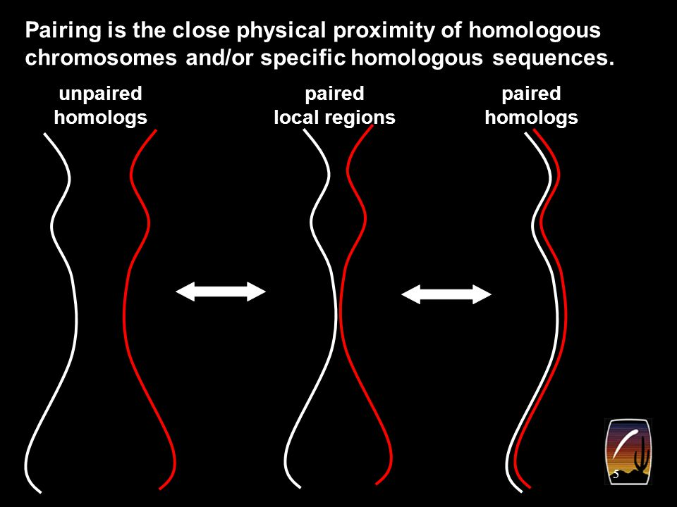 6 pairing Pairing of homologous sequences can influence gene expression.