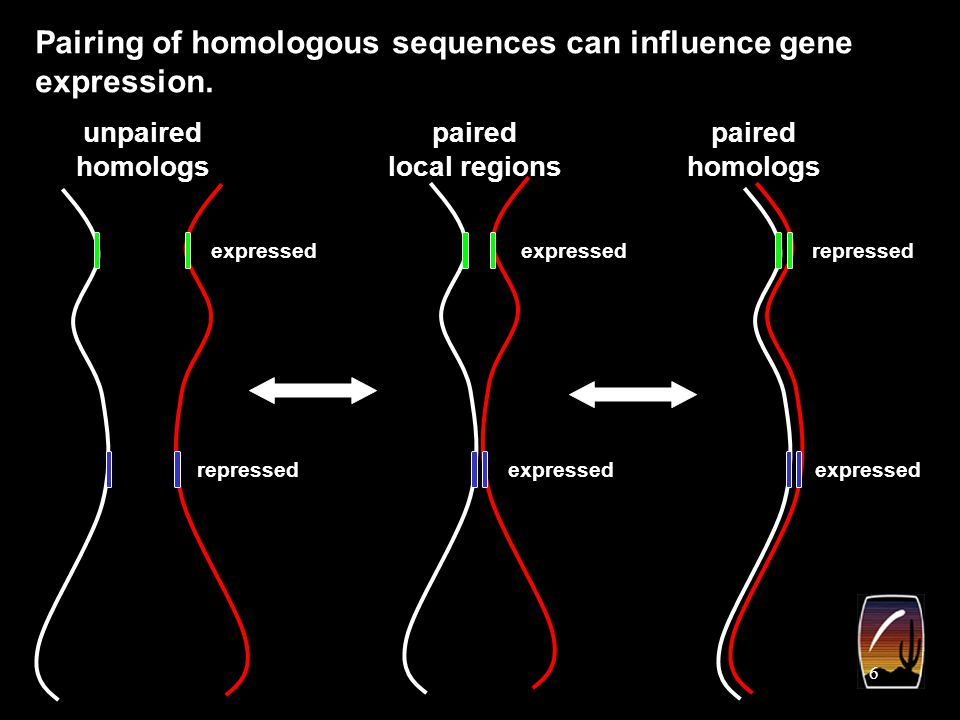 7 Pairing and inter-chromosomal interactions occur in most eukaryotes, including humans.