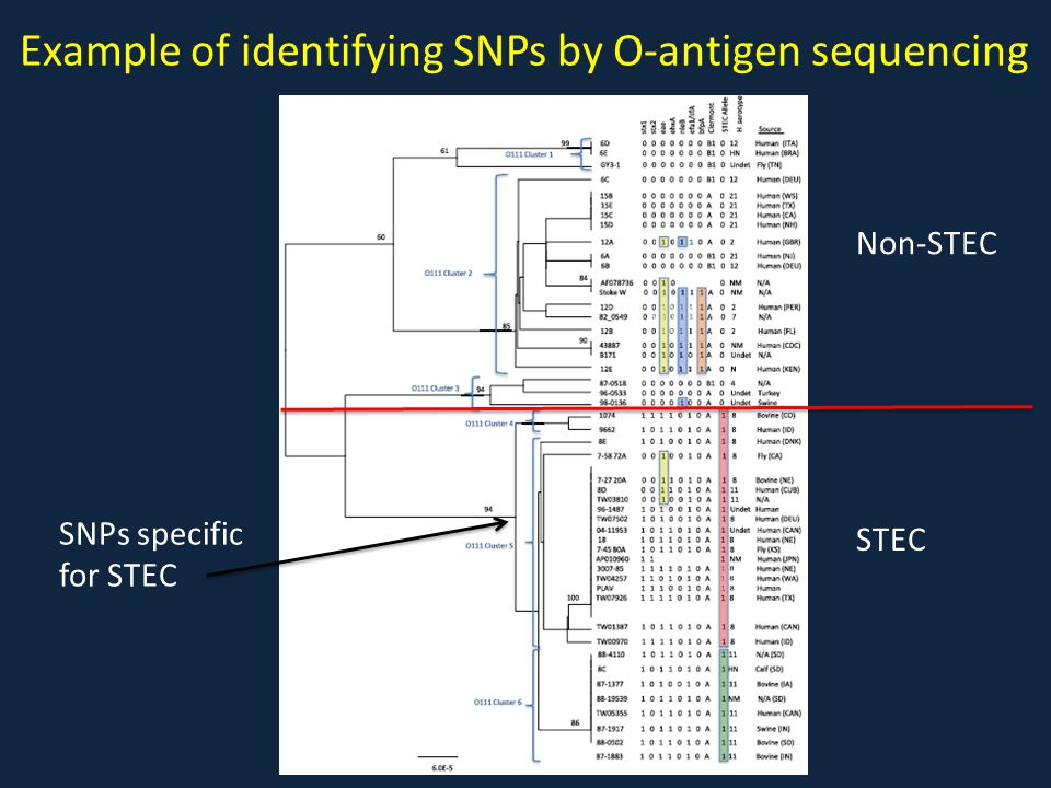 Example of identifying SNPs by O-antigen sequencing Non-STEC STEC SNPs specific for STEC