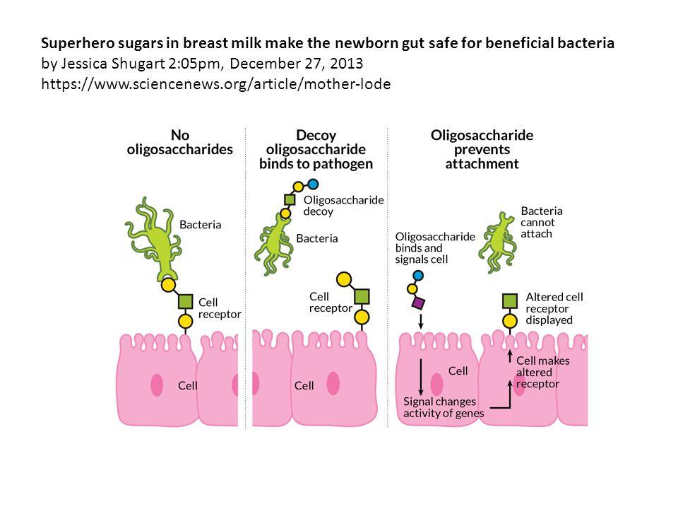 Superhero sugars in breast milk make the newborn gut safe for beneficial bacteria by Jessica Shugart 2:05pm, December 27, 2013 https://www.sciencenews