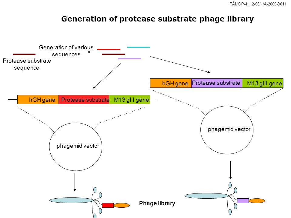 hGH geneProtease substrateM13 gIII gene phagemid vector hGH gene Protease substrate M13 gIII gene phagemid vector Generation of various sequences Phage library Protease substrate sequence TÁMOP-4.1.2-08/1/A-2009-0011 Generation of protease substrate phage library