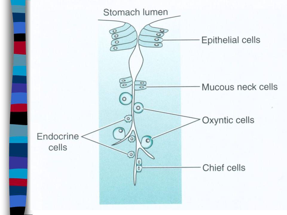 Ulcerogenic factors n NSAID n Stress n Chronic gastritis type B n A habitual increase of oxyntic glands secretion (increased number, increased sensitivity to k histamine or gastrin.