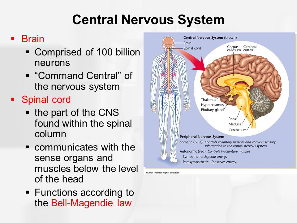 """Central Nervous System  Brain  Comprised of 100 billion neurons  """"Command Central"""" of the nervous system  Spinal cord  the part of the CNS found"""