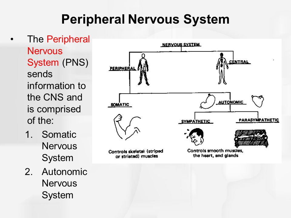 Peripheral Nervous System The Peripheral Nervous System (PNS) sends information to the CNS and is comprised of the: 1.Somatic Nervous System 2.Autonom