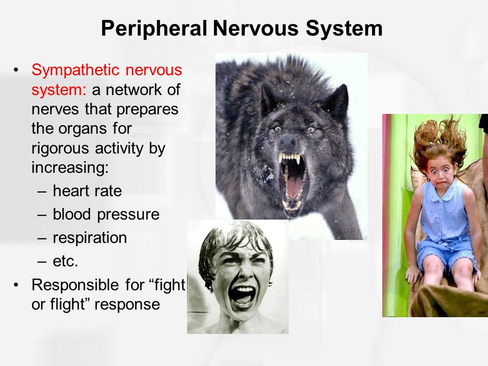Peripheral Nervous System Sympathetic nervous system: a network of nerves that prepares the organs for rigorous activity by increasing: –heart rate –b