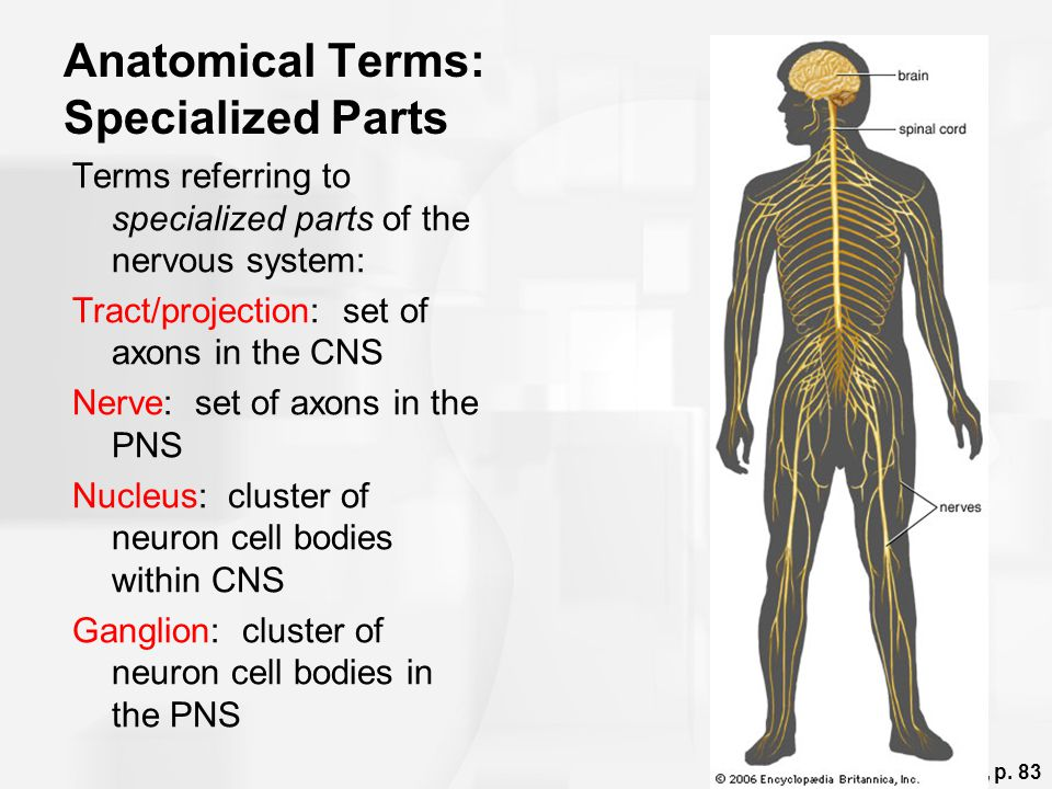 Anatomical Terms: Specialized Parts Terms referring to specialized parts of the nervous system: Tract/projection: set of axons in the CNS Nerve: set o