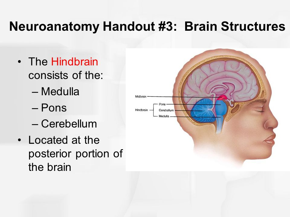 Neuroanatomy Handout #3: Brain Structures The Hindbrain consists of the: –Medulla –Pons –Cerebellum Located at the posterior portion of the brain