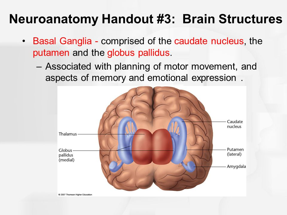 Neuroanatomy Handout #3: Brain Structures Basal Ganglia - comprised of the caudate nucleus, the putamen and the globus pallidus. –Associated with plan