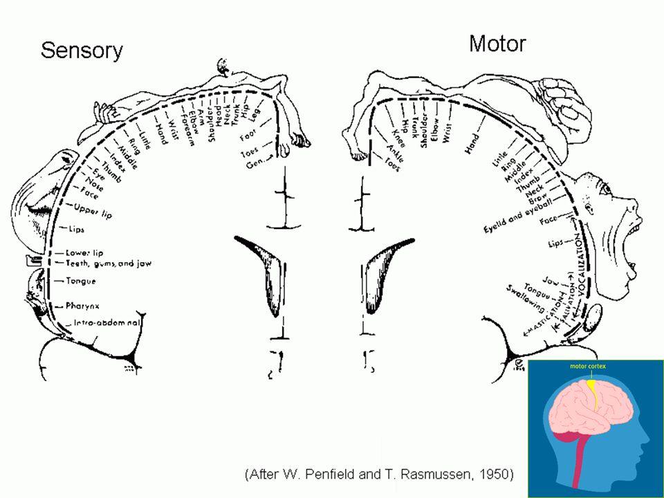 Neuroanatomy Handout #3: Brain Structures Corpus callosum (O): large bundle of axons joining the 2 hemispheres Anterior commissure (P): small bundle of axons joining the 2 hemispheres