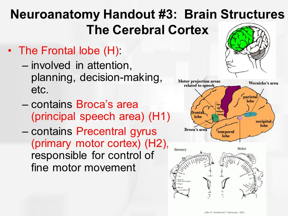 Neuroanatomy Handout #3: Brain Structures The Cerebral Cortex The Frontal lobe (H): –involved in attention, planning, decision-making, etc. –contains