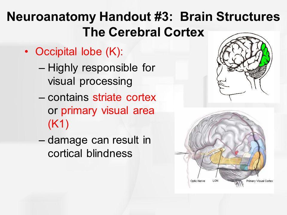Neuroanatomy Handout #3: Brain Structures The Cerebral Cortex Occipital lobe (K): –Highly responsible for visual processing –contains striate cortex o