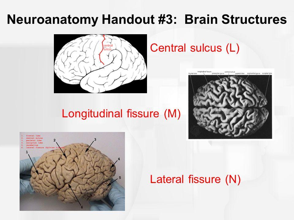 Neuroanatomy Handout #3: Brain Structures Central sulcus (L) Longitudinal fissure (M) Lateral fissure (N)