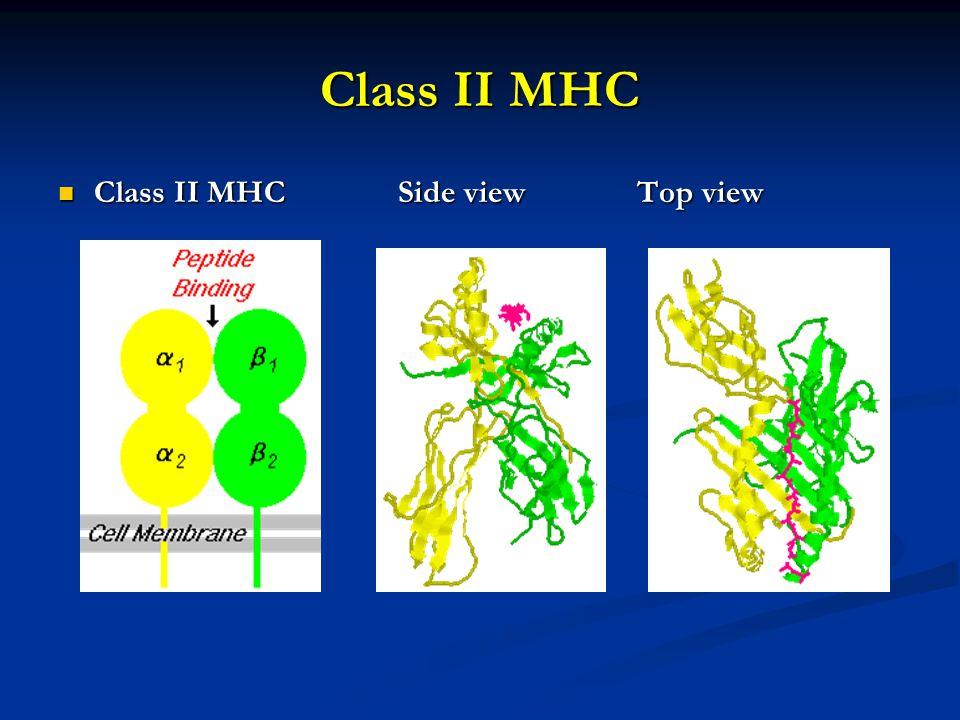Class II MHC Class II MHC Side view Top view Class II MHC Side view Top view