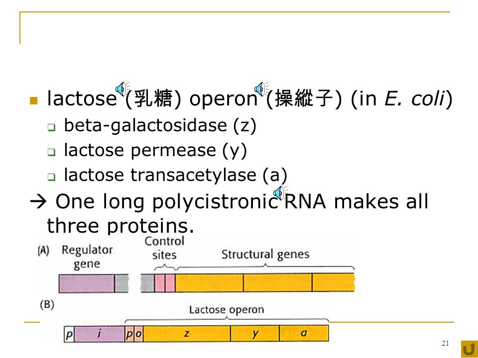 20 6.2.1.3 consensus sequence  recognized by the same σ-factor  agree for many different genes operon  the set of genes with related functions regulatory proteins  positive regulator  enhance ( 強化 )  negative regulator  repress ( 抑制 ), attenuate ( 減弱 )