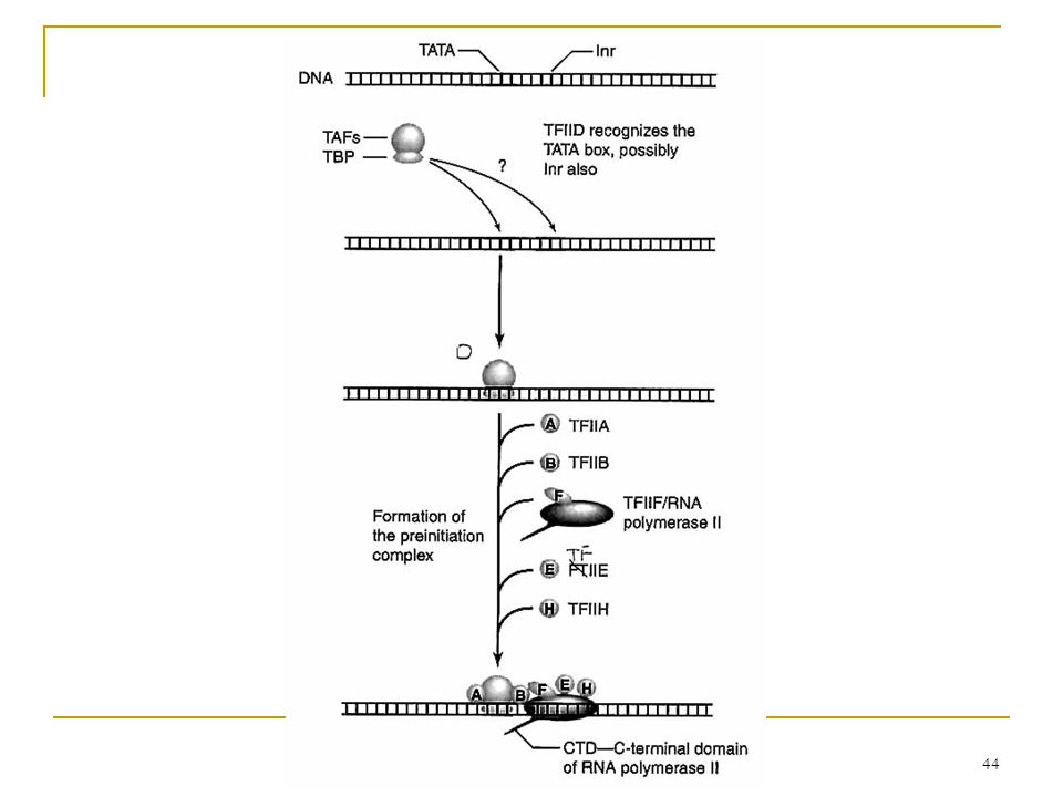43 RNA polymerase II does not recognize the basal promoter directly.  basal transcription factors TATA-binding protein (TBP) at least 12 TBP-associat