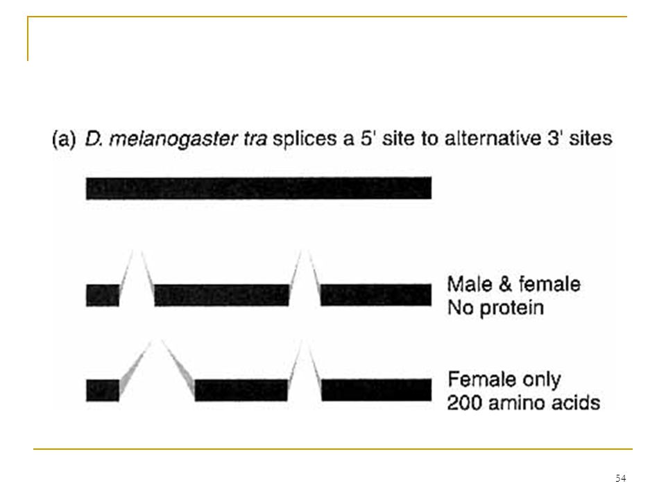 53 6.7.2 Alternative Splicing 20% of human genes have alternative splicing  extreme example: 64 different mRNAs Splicing apparatus have  small nuclear RNAs (snRNAs)  several proteins